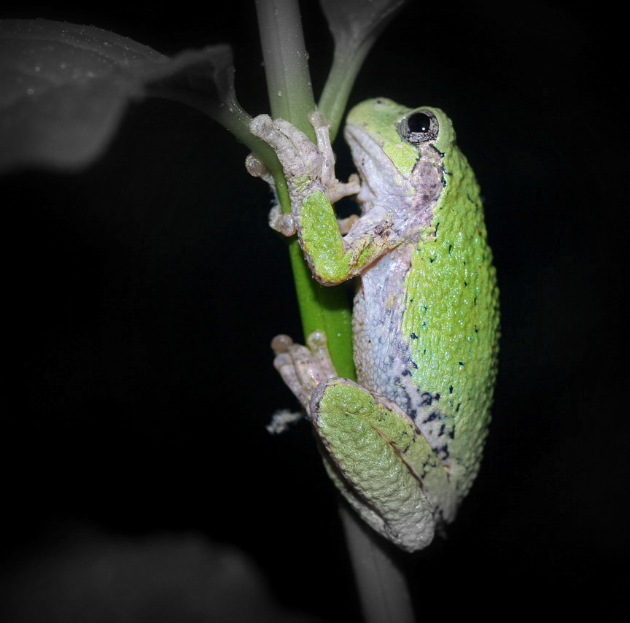 Gray_tree_frog_Coggeshall