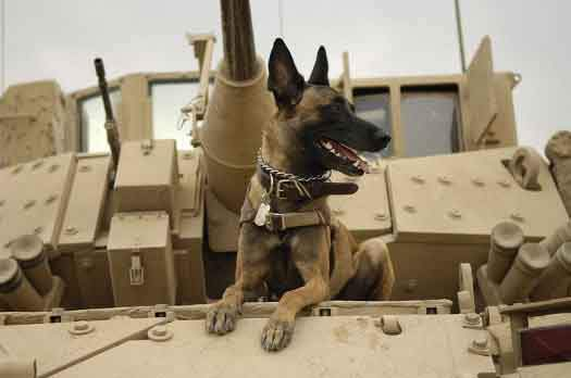 800px-Belgian_Shepherd_Malinois_on_top_of_tank