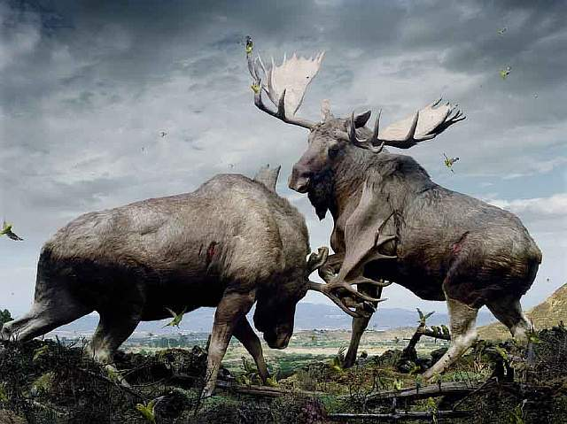 135-moose.jpg.CROP.article920-large