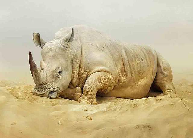 168-rhino.jpg.CROP.article920-large