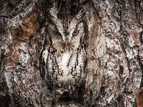 merit-winner-portrait-of-an-eastern-screech-owl-location-okefenokee-swamp-georgia-usa