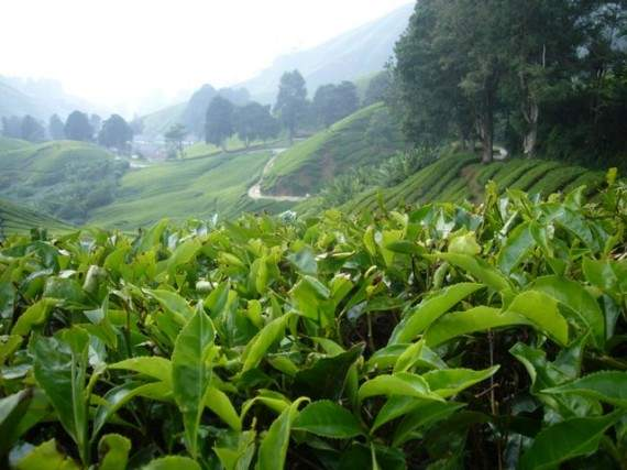 tea-bushes-monks-570x427