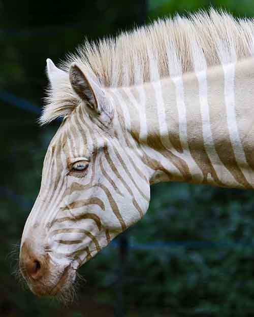 A Zebra Of A Different Color
