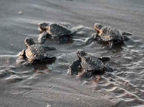 baby-sea-turtles