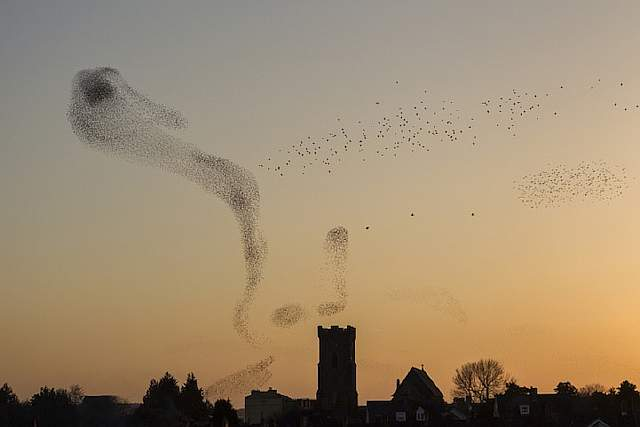 Starlings over Carmarthen, South-west Wales