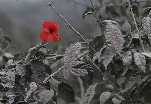 Hibiscus flower is seen on ash-covered plant at Mardingding village in Karo district, Indonesia's north Sumatra province