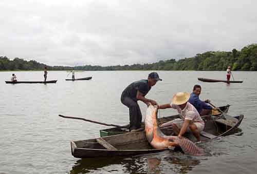 Villagers from the Porto Novo community load into their canoes arapaima or pirarucu, the largest freshwater fish species in South America