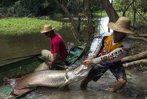 Villager Diomesio Coelho Antunes from the Rumao Island community drags from his canoe an arapaima or pirarucu, the largest freshwater fish species in South America