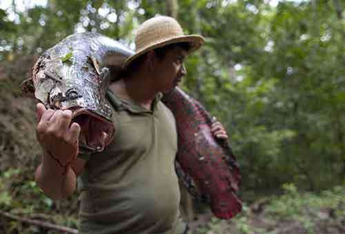 Villager Edson de Souza from the Rumao Island community carries an arapaima after fishing in the Amazon basin