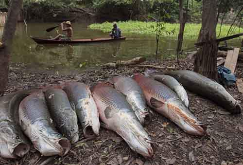 Villagers paddle past a line of arapaima while fishing in a branch of the Solimoes river