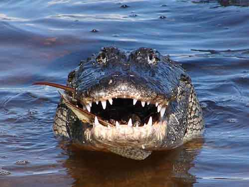 alligator-smiles