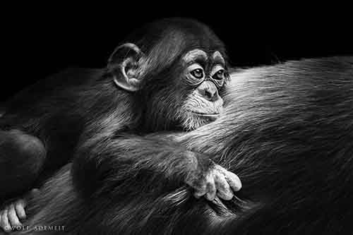 german-photographer-wolf-ademeit-took-this-photo-at-a-local-zoo-he-spent-a-lot-of-time-getting-to-know-the-primates-whom-he-saw-display-love-sadness-fun-and-violence