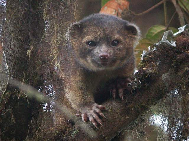 the-olinguito-was-the-first-new-carnivorous-mammal-discovered-in-the-americas-in-the-last-35-years-a-relative-of-the-raccoon-the-olinguito-is-super-adorable