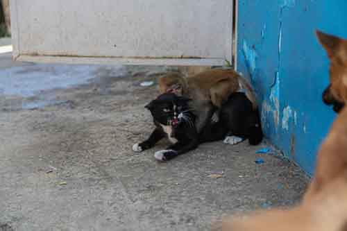 Cat protecting a little monkey from a dog