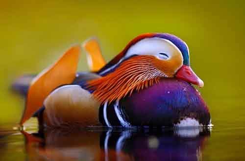 Sleeping Mandarin