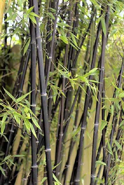 edible-weeds-bamboo