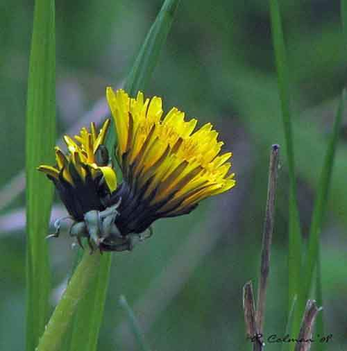 edible-weeds-dandelion