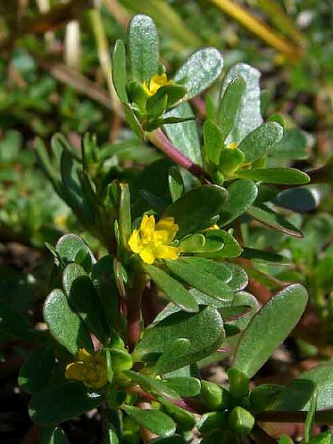 edible-weeds-purslane