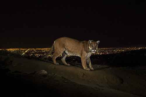 a-cougar-walking-a-trail-in-los-angeles-griffith-park-is-captured-by-a-camera-trap-cougars-are-increasingly-being-seen-in-the-towns-and-cities-of-the-los-angeles-area