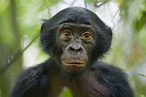 this-five-year-old-wild-bonobo-was-exceptionally-curious-in-the-democratic-republic-of-congo