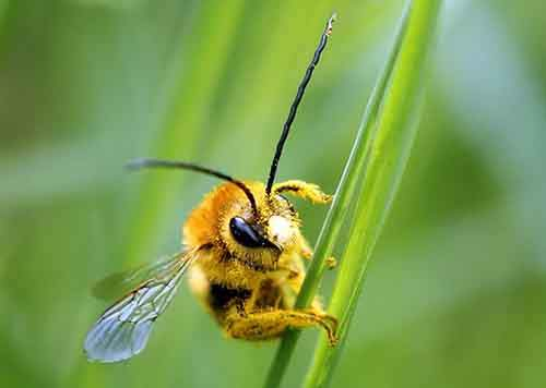 a-bee-is-covered-with-pollen-as-it-sits-on-a-blade-of-grass