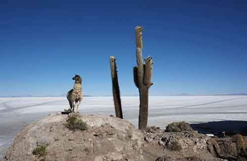 a-llama-stands-next-to-a-cactus-growing-on-incahuasi-island-above-the-uyuni-salt-lake-which-holds-the-worlds-largest-reserve-of-lithium