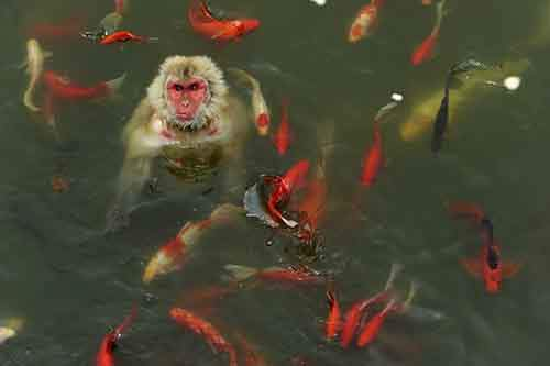 a-monkey-surrounded-by-carp-plays-in-a-pond-at-a-wildlife-park-in-china