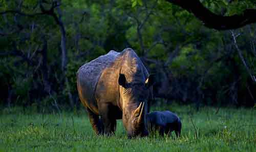 a-southern-white-rhino-named-bella-eats-with-her-day-old-baby-at-ziwa-rhino-sanctuary-in-central-uganda