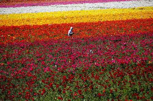 a-worker-hand-picks-giant-tecolote-ranunculus-flowers-at-the-flower-fields-in-california