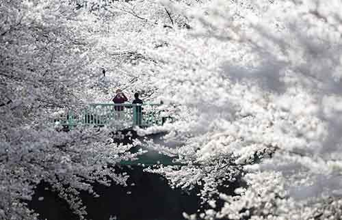 cherry-blossoms-in-full-bloom-in-tokyo