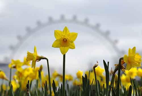 daffodils-are-pictured-with-the-london-eye-behind-them