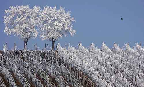 frosted-trees-are-seen-in-the-middle-of-vineyards-in-the-alsace-region-countryside-near-strasbourg-france