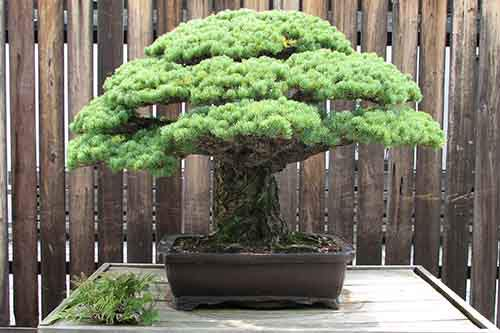 400 year-old bonsai that survived the Hiroshima Bombing