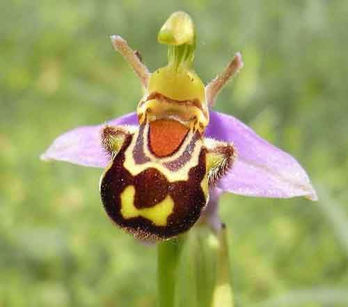 flowers-look-like-animals-people-monkeys-orchids-pareidolia-16