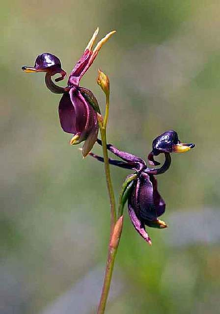 flowers-look-like-animals-people-monkeys-orchids-pareidolia-28