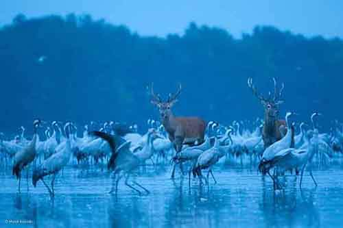 Red Deer and Cranes