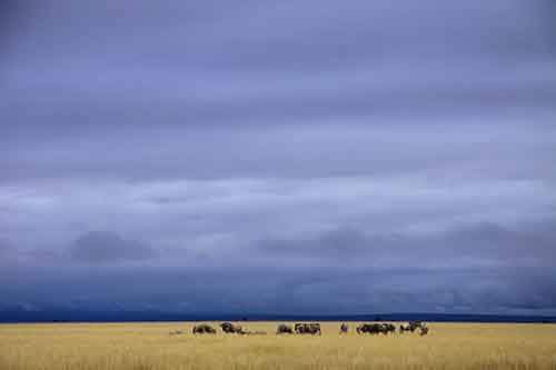 a-herd-of-wildebeest-graze-on-the-savannah-grassland-of-amboseli-national-park-kenya--and-provide-a-food-source-for-lions-at-the-same-time-says-graeme-shannon