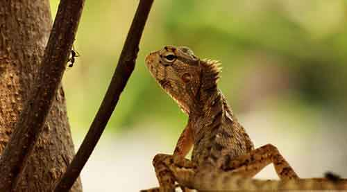 anandbabu-r-photographed-these-oriental-garden-lizards-found-all-over-asia-they-eat-anything-smaller-than-them--including-other-lizards