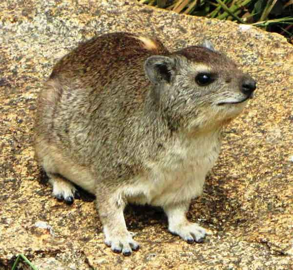 en.wikipedia.org-Yellow-spotted_Rock_Hyrax