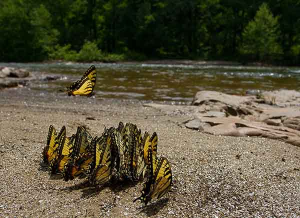 first-the-commended-photos-these-eastern-swallowtails-frequently-gather-along-riversides-in-the-eastern-us-to-feed-on-mineral-deposits-according-to-photographer-jp-lawrence