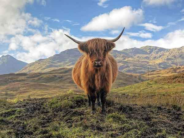 highland-cows-roam-around-the-trossachs