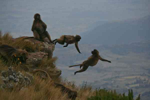 in-the-ethiopian-highlands-these-gelada-monkeys-scurry-to-safety-as-the-light-changes-and-predators-come-out-according-to-photographer-ryan-j-burke