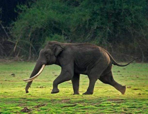 manojcsindagi.in-Elephant-Tusker-running