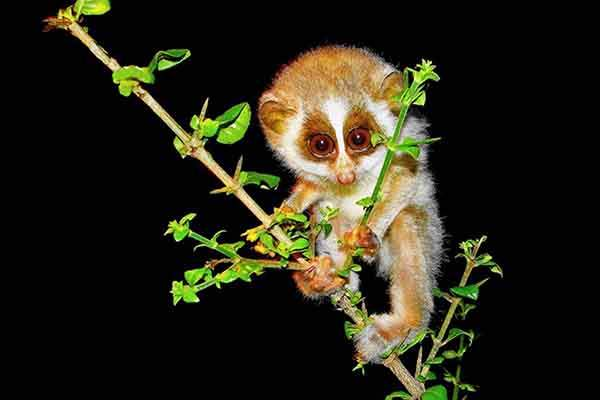 sayantan-das-explains-that-this-baby-slender-loris-is-parked-in-place-in-the-eastern-ghat-mountains-of-india-while-its-mother-catches-insects