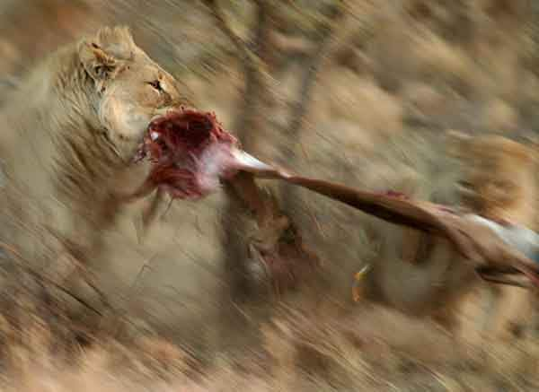 shannon-also-shot-this-image-of-a-lion-and-lioness-tearing-an-adult-impala-in-half-in-pilanesberg-national-park-south-africa