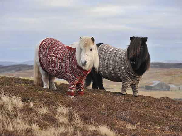 shetland-ponies-are-so-iconic-in-scotland-that-the-country-used-sweater-wearing-ponies-in-a-tourism-campaign-last-year