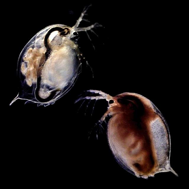 these-small-freshwater-daphnia-crustaceans-are-under-attack-by-tiny-parasites-says-nina-schlotz