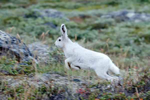 this-arctic-hare-has-started-growing-a-white-coat-to-prepare-for-the-greenland-winter-says-daniel-w-carstensen