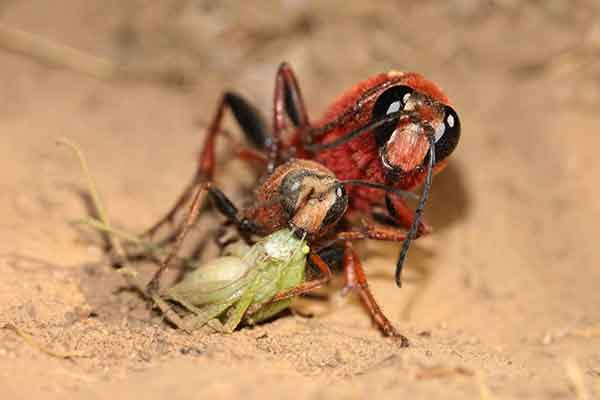this-chilean-sphecid-wasp-takes-advantage-of-a-distracted-female-carrying-prey-back-to-a-nest-seizing-the-opportunity-to-mate-according-to-bernardo-segura