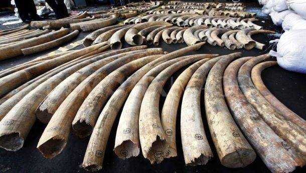 www.demotix.com-1337700544-sri-lankadubai-elephant-tusk-smuggling-ring-smashed-in-sri-lanka_1229176